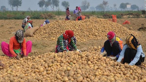 如今种土豆也侵权?百事公司起诉4名印度农民