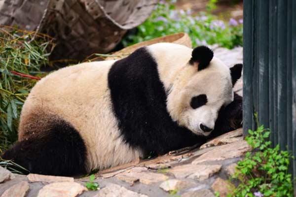 """大熊猫""""风雨无阻""""吃睡模样迷人"""