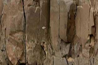 惊心!刚出生一天小黑雁为生存从高崖一跃而下