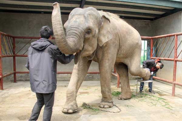"""大象成""""待嫁新娘"""" 园方为其""""美甲"""""""