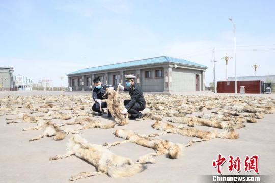 蒙古国司机为赚取2000元好处费 走私205张狼皮进入中国