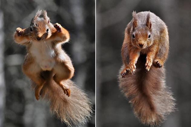 """摄影师拍摄松鼠为拿食物空中飞翔似""""超人"""""""