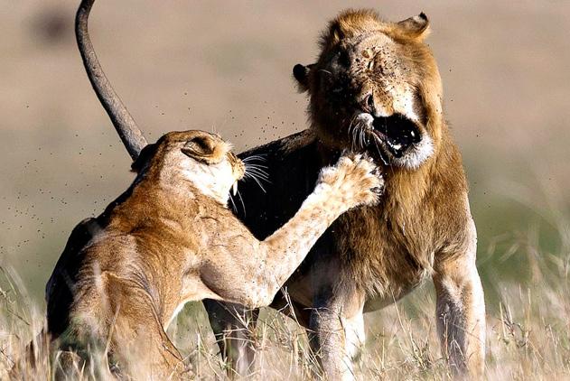 """妻管严!肯尼亚雄狮求爱不成反遭雌狮""""痛揍"""""""