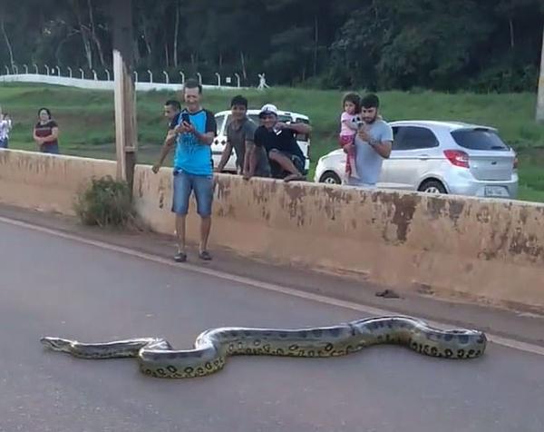 巴西3米长巨蟒横穿马路 过往车辆纷纷靠边避让