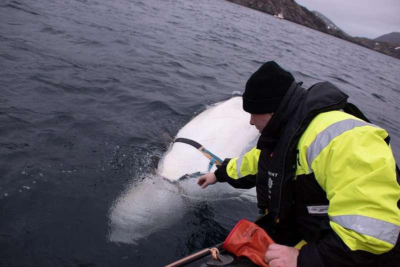 白鲸举止奇怪骚扰挪威渔船 专家:或受过俄军训练