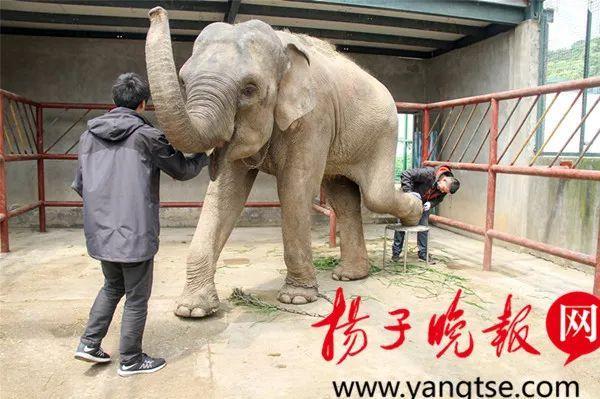 """动物园也要""""征婚""""?为""""出嫁"""",小象连""""美甲""""都搞起来了"""