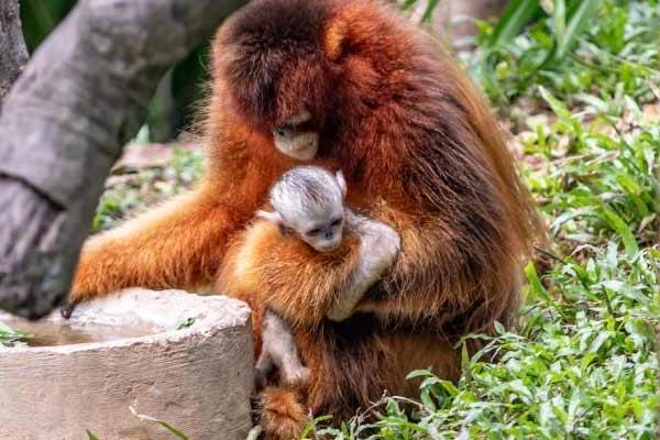 广州长隆再诞川金丝猴