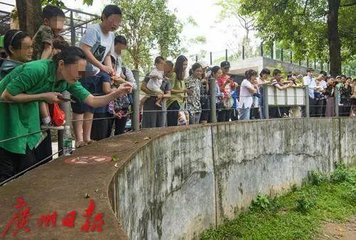 """这群浣熊""""胖出天际"""",广州动物园:别再这样做了,会生病的!"""