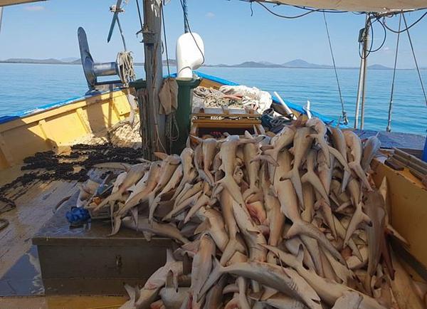 触目惊心!澳渔船在大堡礁附近捕获数十条鲨鱼