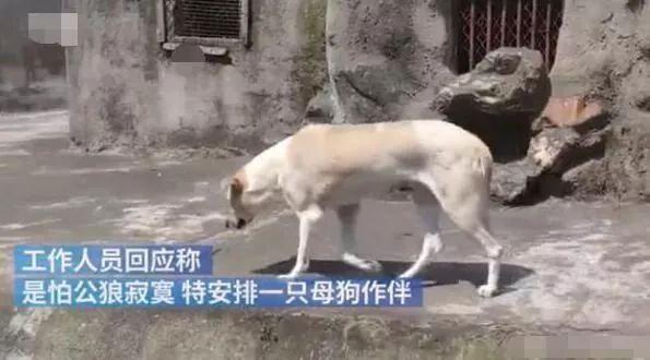 动物园狼窝里趴着条狗?园方的回应太清奇了