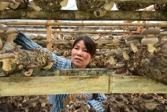 """贵州榕江:""""小蘑菇""""撑起""""致富伞"""""""