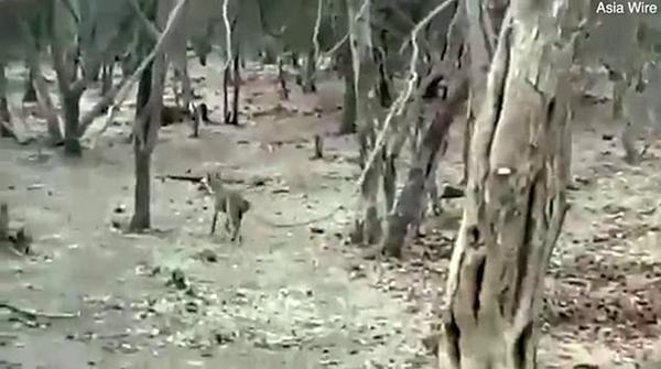 印度一公园上演狮狗大战 狗狗得幸狮口脱险