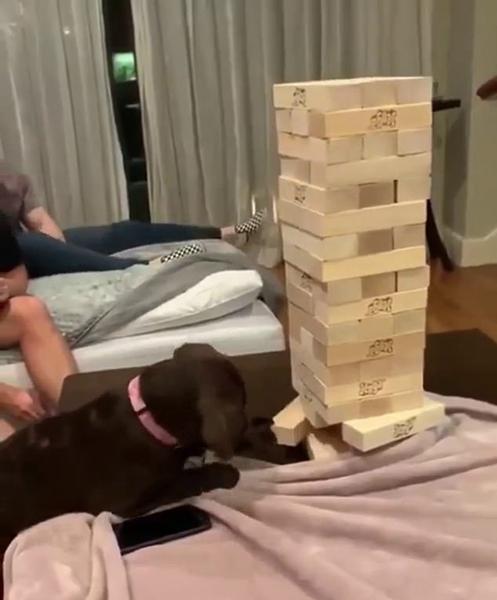 拉布拉多犬巧玩高难度游戏层层叠引众人惊叹