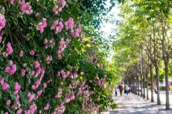 """北京:对外经贸大学最美""""蔷薇花墙""""颜值尽显"""