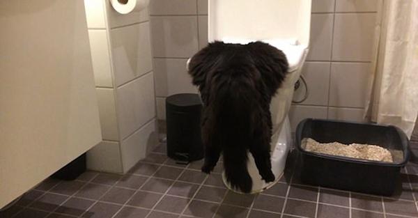 滑稽!芬兰猫咪挂在马桶上 落地后摇晃似醉汉