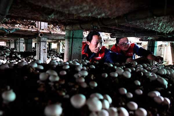 """""""蘑菇""""夫妻:脱贫之后奔致富"""