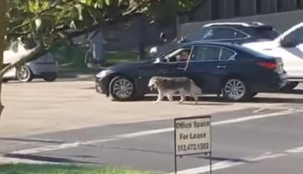 危险!美一司机在街道中央边开车边开车边遛狗