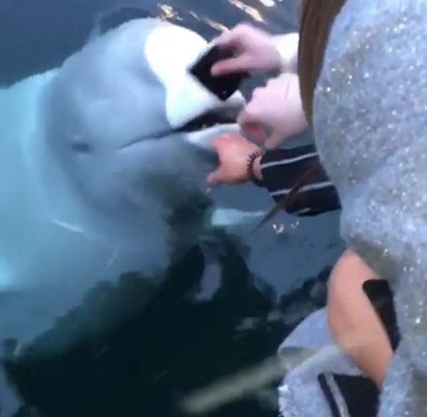 一游客手机不慎掉入海中 好心白鲸物归原主