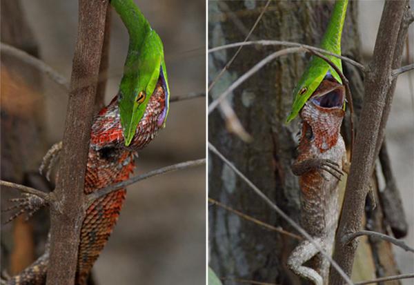 精彩!印绿藤蛇从树枝上突然起跳吞下整只蜥蜴