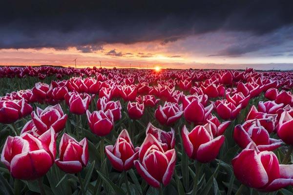 万花筒般绚丽!在最美时节徜徉荷兰郁金香梦幻花海