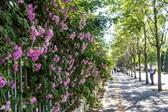 """对外经贸大学最美""""蔷薇花墙""""颜值尽显"""