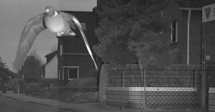 """德国一鸽子""""超速飞行""""被拍,可能将面临罚款"""