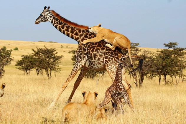 非洲群狮凶残围猎长颈鹿母子 画面令人心碎