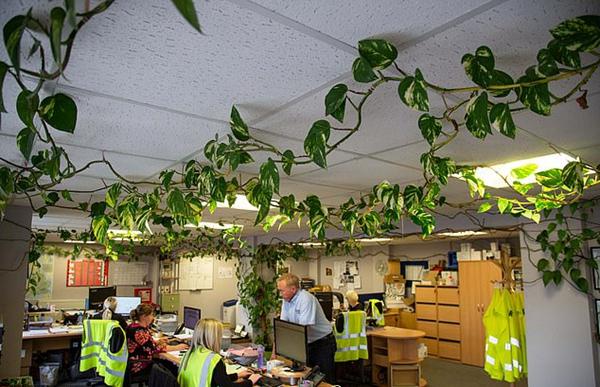 """英办公室绿萝12年布满天花板如""""三脚妖怪物"""""""