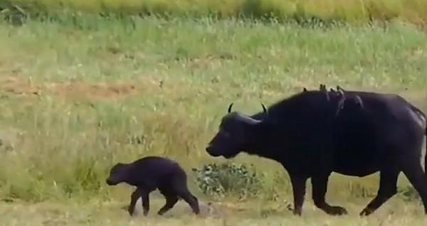 揪心一刻:水牛妈妈为保护幼崽任由两雄狮攻击