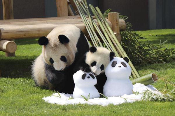 """当旅日大熊猫遇到""""雪人熊猫"""" 爱不释手!"""