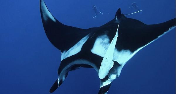 一深海摄影师海中偶遇魔鬼鱼 彼此相处甚欢