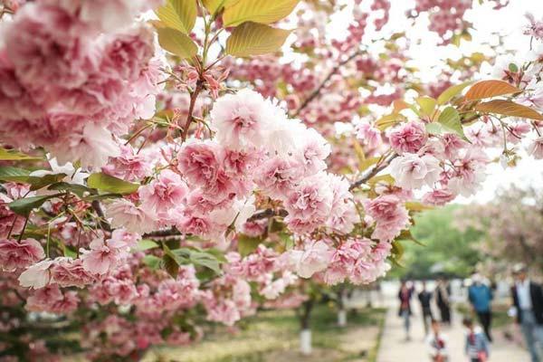 辽宁大连:樱花美景引游人