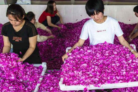 河北枣强:玫瑰花开致富路