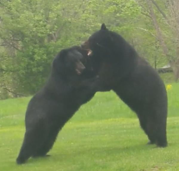 美男子拍到两只大黑熊在自家院内直立打斗画面