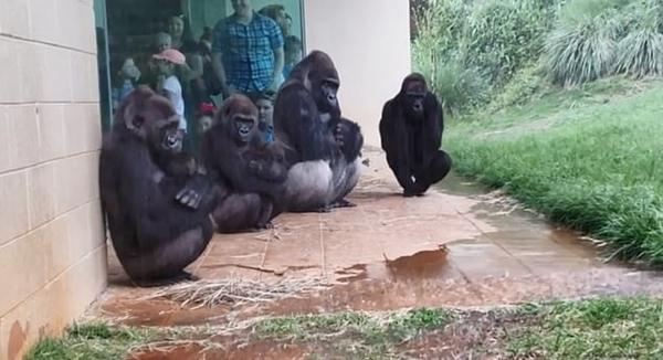 美动物园大猩猩墙角躲雨 动作表情滑稽成网红
