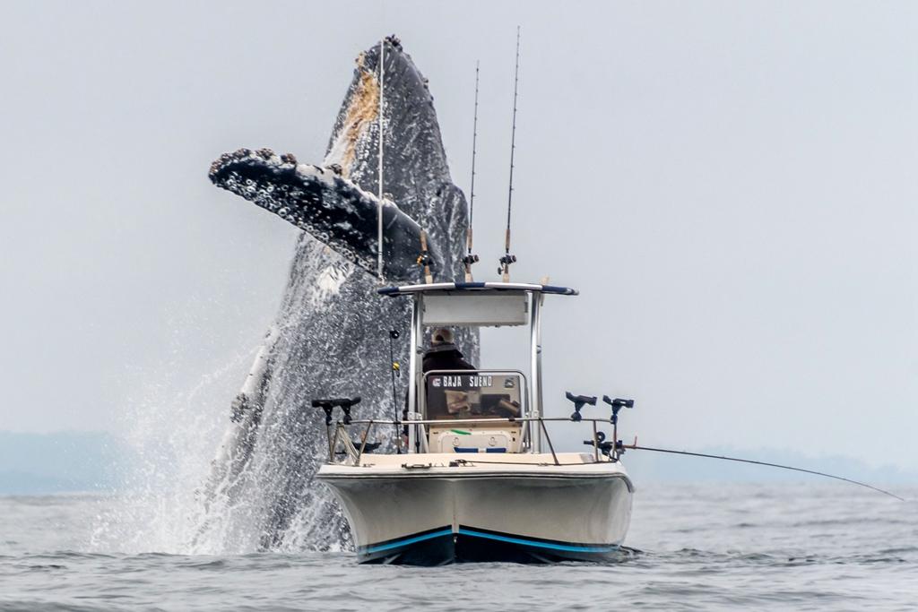 没有一点点防备!加州渔民垂钓偶遇一座头鲸从船底蹿出