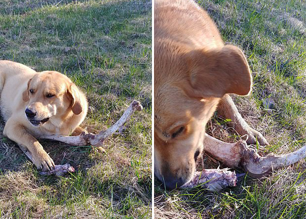男子称黑熊用骨头贿赂其宠物狗伺机翻找垃圾桶
