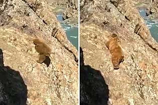 痛心!印度濒临灭绝棕熊被人追赶摔下悬崖死亡
