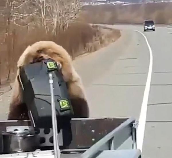 俄罗斯一棕熊偷猎人汽车后备箱野餐逃入森林
