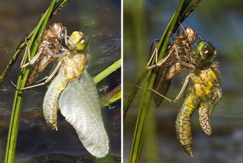 英摄影师躺沼泽地3小时捕捉蜻蜓破壳重生图