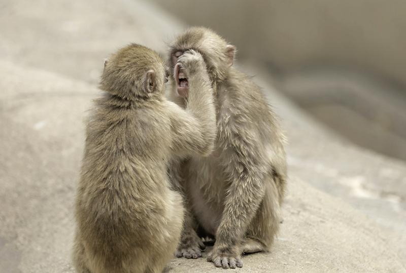 """日本猕猴爆笑客串""""牙医"""" 仔细为同伴看牙"""