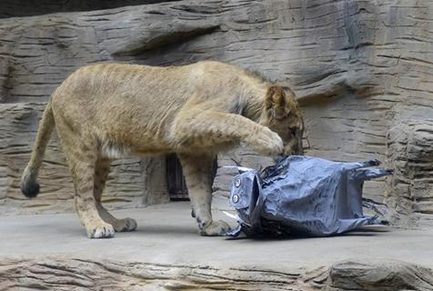 动物园给北非狮送纸糊疣猪练狩猎 狮子:你搞笑呢