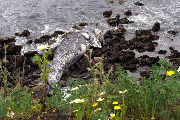 美国加州海滩又现巨型鲸鱼尸体 死因不明