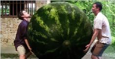 这个西瓜重达318斤