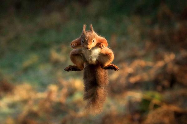 """给我冲!英国小松鼠为囤坚果化身""""超人"""""""