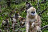 湖北神农架金丝猴得到有效保护
