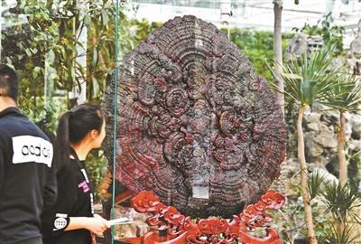 直径1.4米超大灵芝惊艳亮相北京世园会