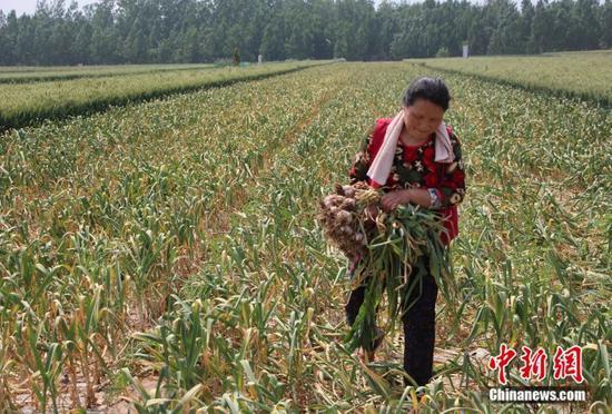 丁春梅在家中的田地里干农活。赵晓 摄