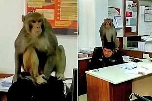 """印度一顽猴闯进银行""""劫持调戏""""银行职员"""