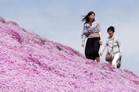 北海道芝樱盛放 游客徜徉梦幻花海